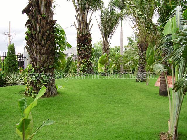 Cỏ nhung được trồng làm tiểu cảnh sân vườn