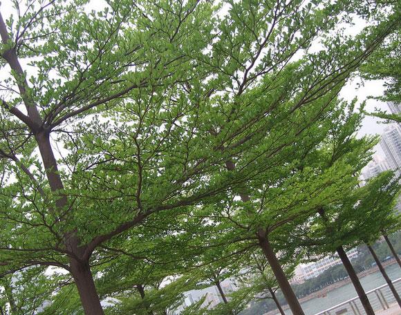 Cây bàng đài loan được trồng tạo cảnh quan đô thị
