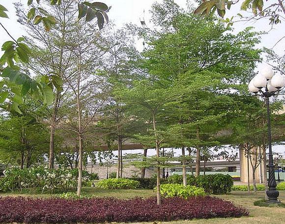 Cây bàng đài loan được trồng tạo cảnh quan khuôn viên khu đô thị