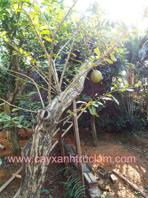 Cầy đào tiên được trồng ươm tại vườn