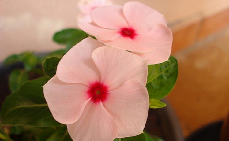 Cây dừa cạn hoa màu hồng phấn