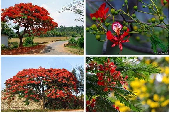 Phượng vỹ hoa màu đỏ cam