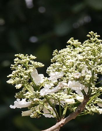 Hoa-Cây phượng trắng
