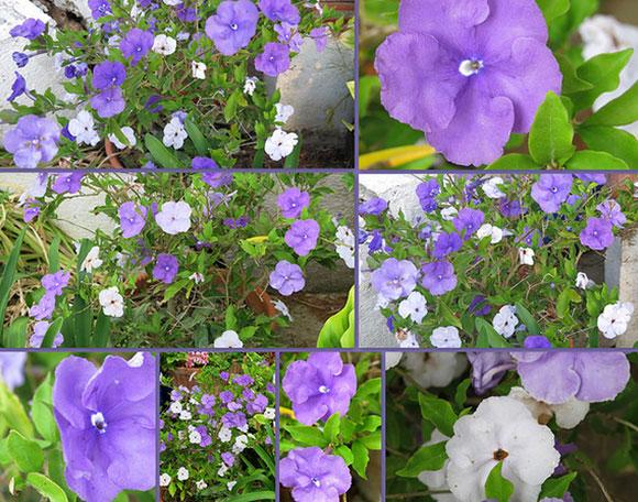 Lài hai màu, Lài Nhật hoặc Lài Mỹ - Brunfelsia pauciflora