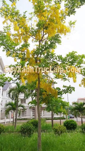 Sau 1 năm trồng cây xanh tại Khu đô thị chức năng Tây Mỗ- Nam Từ Liêm, Hữu Hưng, Đại Mỗ, Từ Liêm,Hà Nội