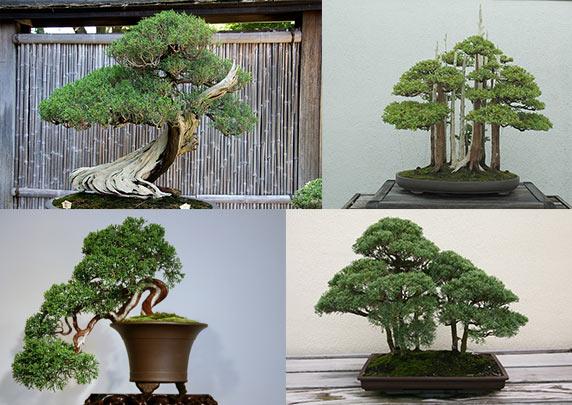 Cây bách, Tùng Bách hay Cây Shipaku, Juniperus chinesis