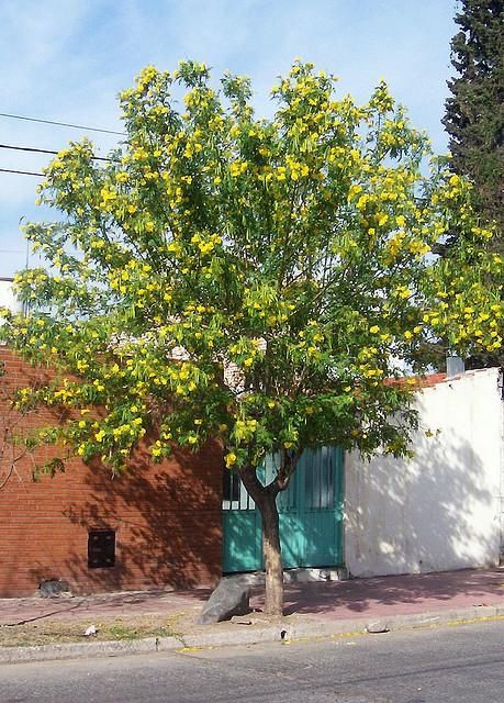 Cây Huỳnh liên, Cây Sò đo bông vàng