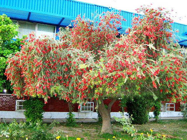 Cây Liễu Đỏ được trồng trong khuôn viên