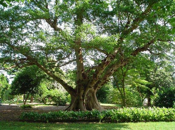 Kết quả hình ảnh cho cây sung đại thụ