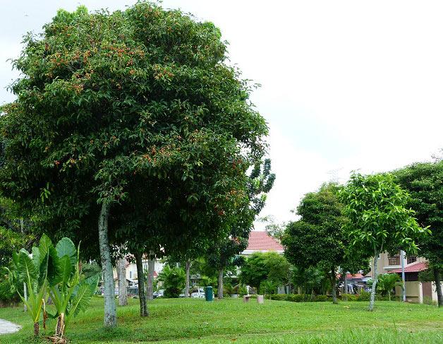 Cây viết được trồng làm cây Đô Thị