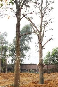 Cây xoài có đường kính từ 15-80cm