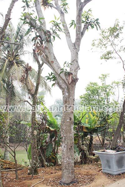 Cây xoài được ươm tại vườn Trúc Lâm