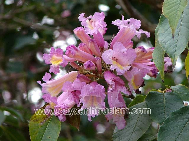 Hoa cây kèn hồng