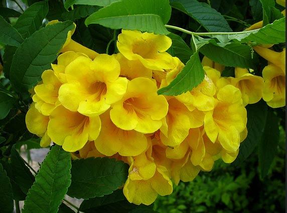 Hoa - Cây Huỳnh liên, Cây Sò đo bông vàng