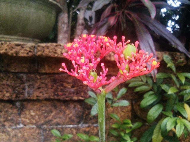 Hoa cây ngô đồng