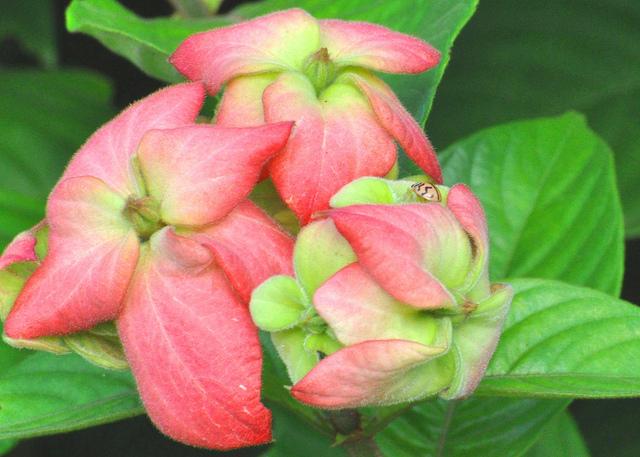 cây hoa bướm bướm hồng
