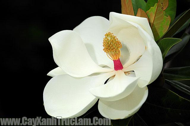 Hoa: Cây Sen Cạn