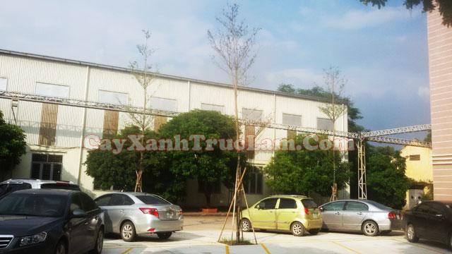 Cây Bàng Đài Loan - Dự án trông cây xanh tại nhà máy Cty Cổ Phần Xích Líp Đông Anh được Trúc Lâm khởi công trông cây vào tháng 9/2015.
