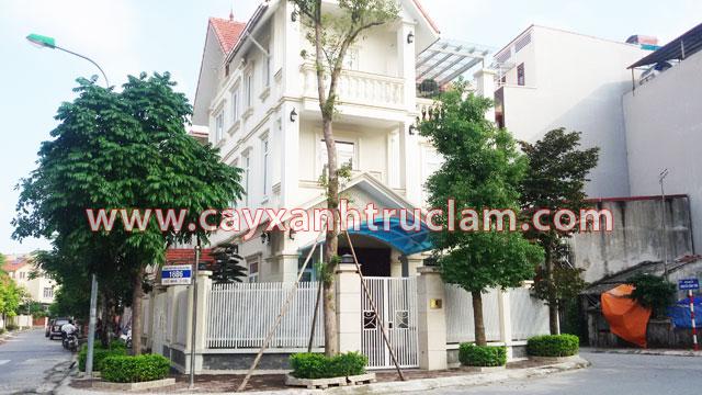 Cây Long Não được Trúc Lâm trồng tại khu đô thị Mỗ Lao