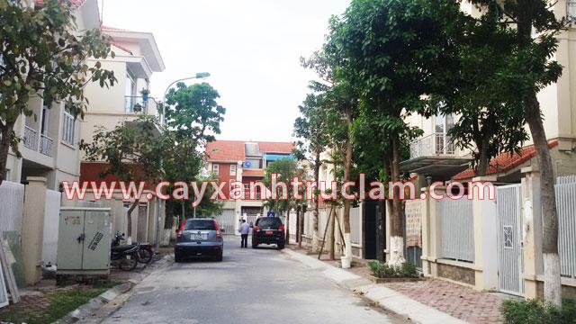 Hàng cây xanh vú sữa, xoài, dáng hương, chay, lộc vừng... được Trúc Lâm trồng tại khu đô thị Mỗ Lao