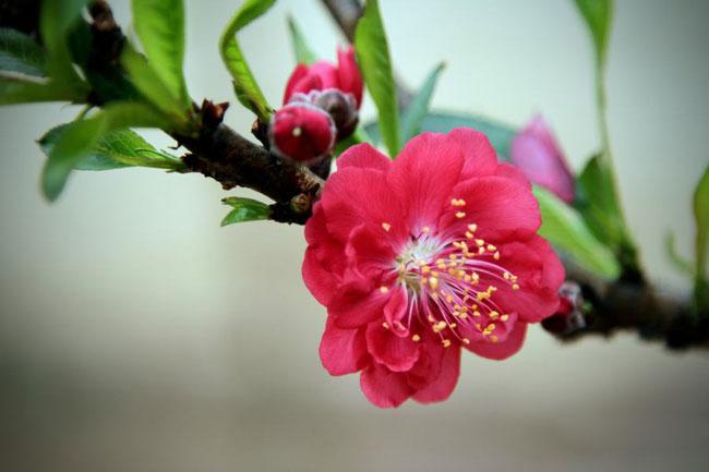 Hoa đào Thất Thốn