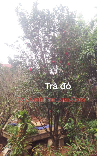 Cây Trà Cung Đình, Cây Trà, Hoa Trà, Cây Hoa Trà Thâm Bát Diệm, Cây Trà Đại Thụ - Bán Cây Hoa Trà Đại Thụ LH 0988 857 499