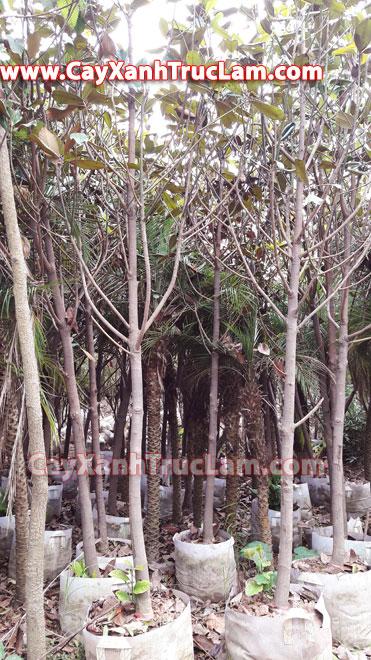 Bán cây hoa sen cạn, cây hoa sen đất, cây phong linh bạch liên sơn: lh Mr Khánh 0988 857 499