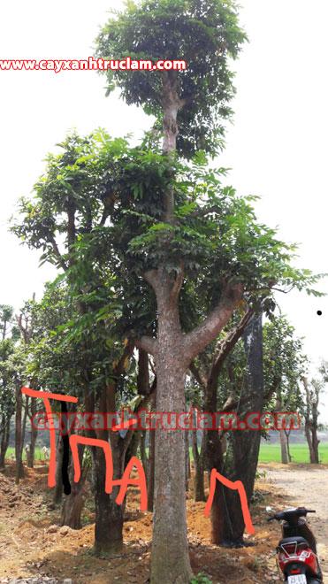 Cây Trám: Chúng tôi trồng mua bán cây trám đen, cây trám trắng lh mr khánh 0988 857 499