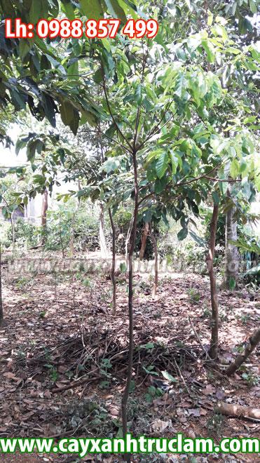 Bán cây Sang Giống, Cung cấp Cây Sang Giống, cây sang có đủ kích thước lh 0988 857 499