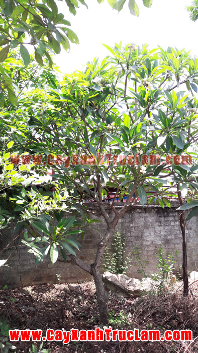 Bán Mua cây hoa đại, cây đại hoa đỏ, cây đại tỷ phú, cây đại tướng quân, cây đại phát tài, cây đại hoàng, cây đại phú gia, cây đại lộc, lá hoa đại, cây hoa đại lộc: Liên Hệ Mr Khánh 0988 857 499