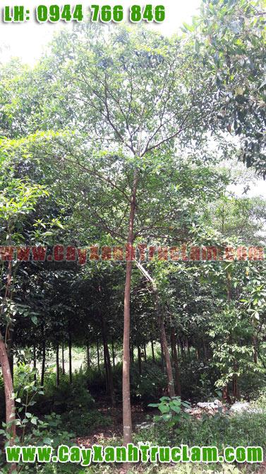 Bán Cây Chiêu Liêu Công Trình, Cây Chiêu Liêu, Vườn Ươm Cây Chiêu Liêu, Trồng Cây Chiêu Liêu lh 0944 766 846