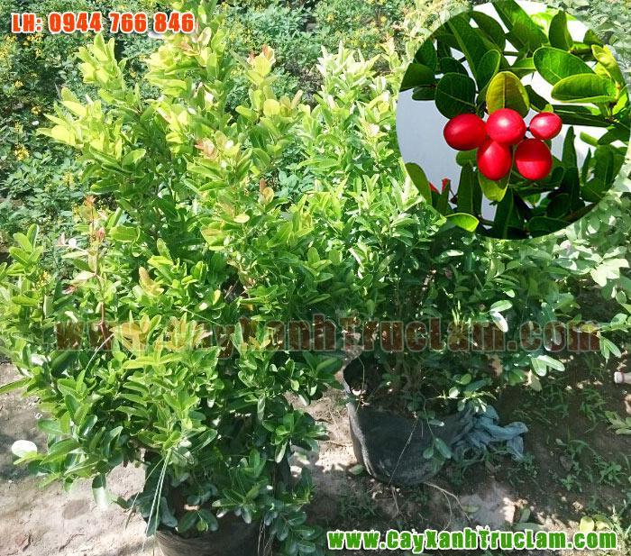 Cây Xanh Trúc Lâm: Bán Sỉ Lẻ Cây Siro, cây xi rô, Sirô ở Hà Nội lh 0944 766 846