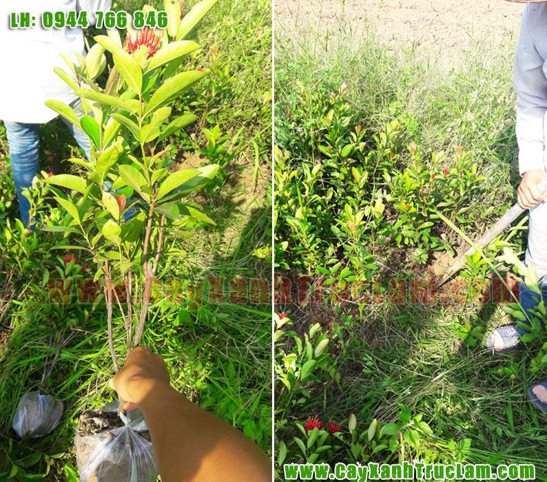 Cây Hoa Mẫu Đơn: Trồng mua bán cây hoa mâu đơn có đủ các loại cây hoa mẫu đơn, Thái, Ta, Nhật