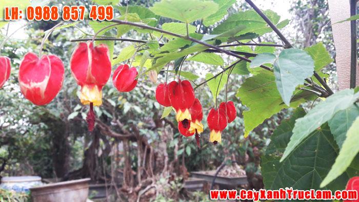 Cây Hoa Đăng, Cây Hoa Quý Hiếm, Cây Độc Lạ - LH Mr Khánh 0988 857 499