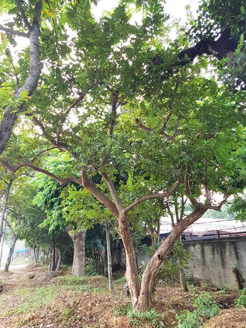 Cây Ổi Đẹp, bán cây ổi bonsai,  cây ổi cổ thụ,  cây ổi 2 tỷ,  cây ổi kiểng,  cây ổi quái,  cây ổi tàu bonsai  ,ổi bonsai mini,  cây ổi dáng đẹp, lh -0988 857 499