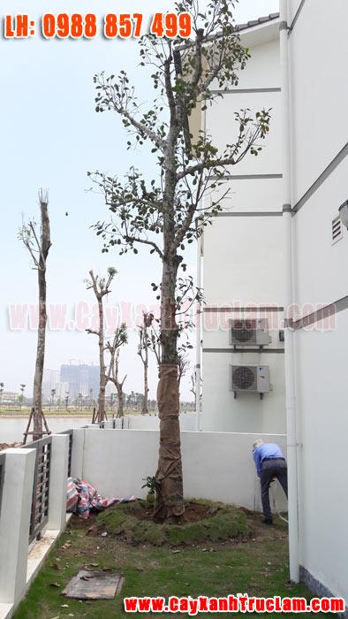 Trồng cây Mít tại biệt thư nhà vườn Long Cảnh Tây Vinhomes Thăng Long An Khánh