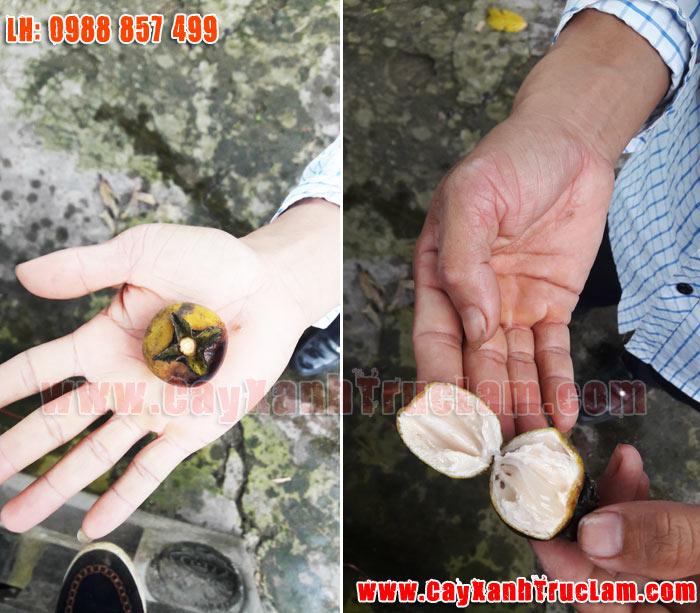 Bán Cây Hồng Sung - Lh 0988 857 499 www.cayxanhtruclam.com