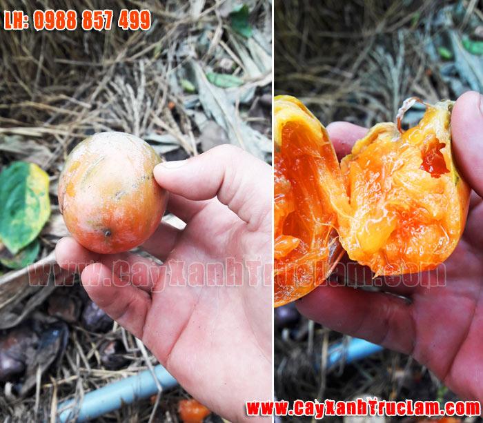 Trồng mua bán cây Hồng Yên Thôn - 0988 857 499 - www.cayxanhtruclam.com