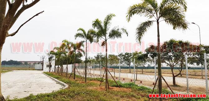 Hàng Cau Đuôi Chồn, Dự án trồng cây xanh tại BioSpring Khu Công nghệ Cao Hòa Lạc - Tư vấn, thiết kế, cảnh quan cây xanh cho nhà mày khu CNC Hòa Lạc