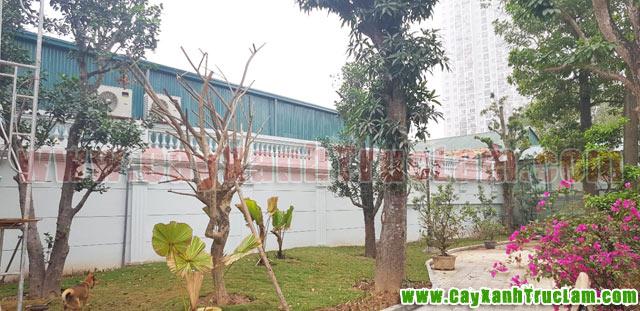 Xoài, Mít, Hồng Xiêm, Dâu Da, Bưởi, Đào Tiên, Cỏ Nhật: Tư vấn thiết kế khuôn viên cây xanh tại 14 phùng hưng cầu đen hà đông - cây xanh - cây cảnh - cây ăn quả - cây bóng mát - cây công trình