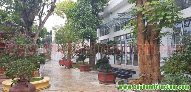 Cây Xoài, cây tùng la hán, cây Ban Tây Bắc: Tư vấn thiết kế khuôn viên cây xanh tại 14 phùng hưng cầu đen hà đông - cây xanh - cây cảnh - cây ăn quả - cây bóng mát - cây công trình