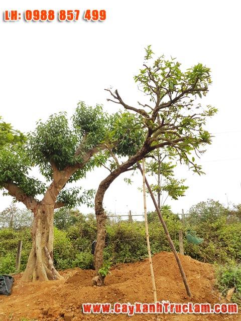 Cây Roi, cây Roi Đẹp, Cây Roi Quả Ngon, Cay Doi, Cây Gioi