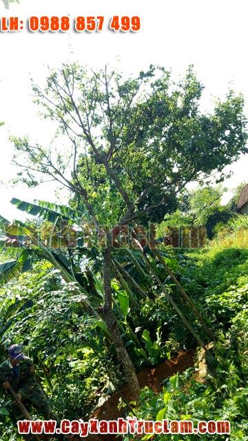 Cung cấp và trồng cây Mận, cây ăn quả, cây mận bắc, cây mận hà nội, cây mận đào, cây mận trắng, cây mận hậu, Cây Mận Bonsai, Mận Cong, Mận Sai trái....
