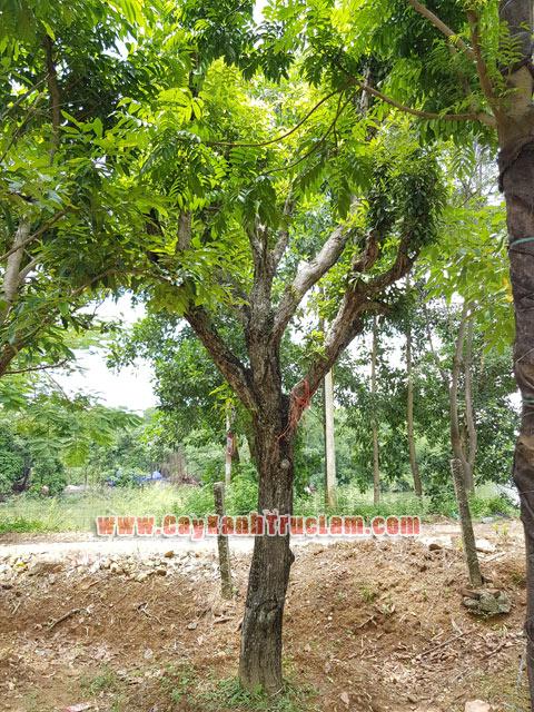Cây Hồng Xiêm Đẹp Quả Ngon Dk 40 - Bán Cây Hồng Xiêm - Cây Hồng Xiêm Quả Ngon - Cây Hồng Xiêm Tay Cành Đẹp Một Thân Một Cốt - Hồng Xiêm Đẹp Trực Thân