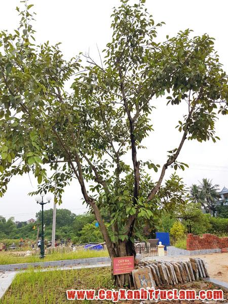 Di chuyển cây Đa của đồng chí To Huy Rứa ủy viên bộ chính trị