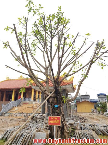 Di chuyển cây Đa của đồng chí Nguyễn Tấn Dũng, Ủy viên bộ chính trị, thủ tướng chính phủ nước cộng hòa xã hội chủ nghĩa Việt Nam