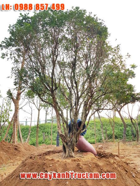 Cây Nguyệt Quế Cổ Thụ To Đẹp - Trồng mua bán cây Nguyệt Quế đk 10 cm cho tơi 40cm