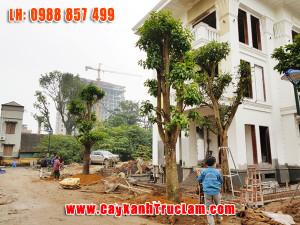 Trồng Cây Sala tại Villa Tây Hồ - Sa La, cây Đầu lân, cây Hàm rồng, Ngọc Kỳ Lân
