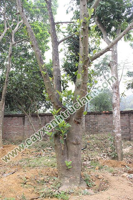 Cây Mít được trồng tại vườn ươm Trúc Lâm