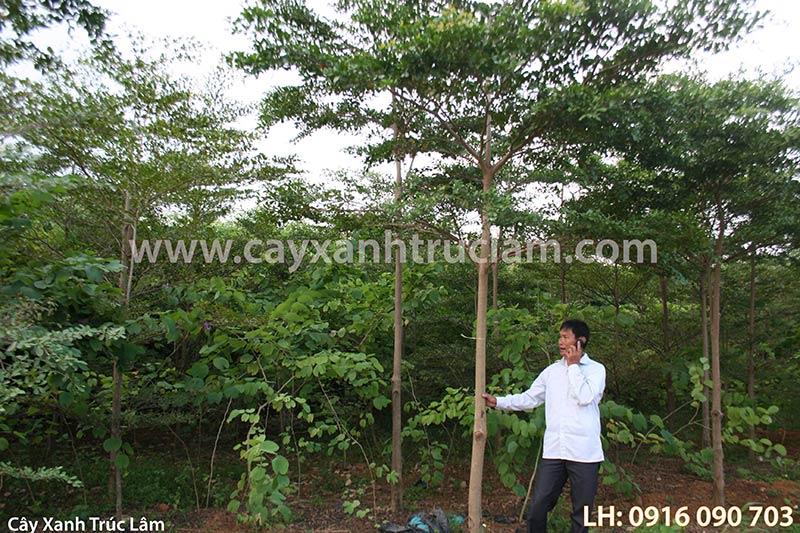 Vườn ươm cây bàng đài loan công trình
